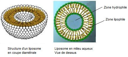 Structure d'un liposome