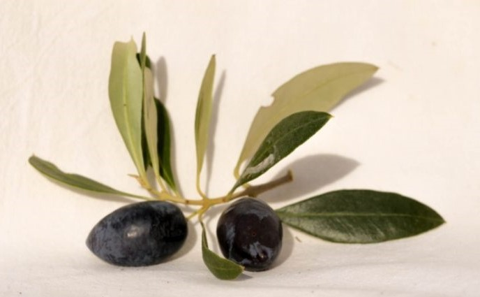 Olivier feuilles et fruits